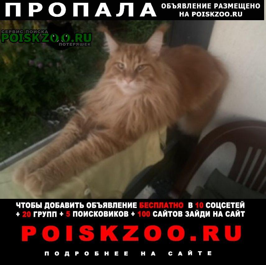 Пропал кот породы мейнкун Дмитров