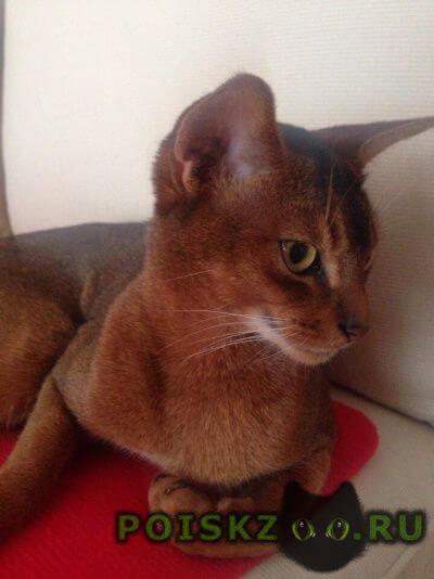 Пропал кот абиссинский г.Ижевск