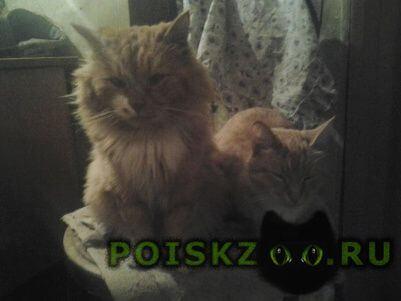 Пропал кот рыжий с белым пятном возле усов г.Иваново