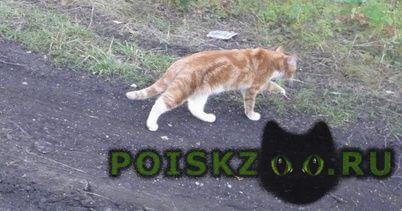 Пропала кошка рыжая г.Чебаркуль