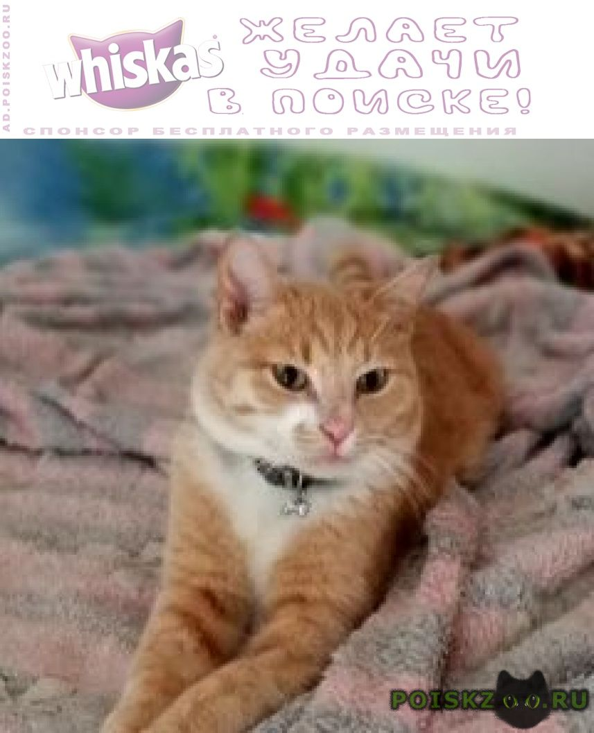 Пропал кот гладкошерстный, рыже-белый г.Лыткарино