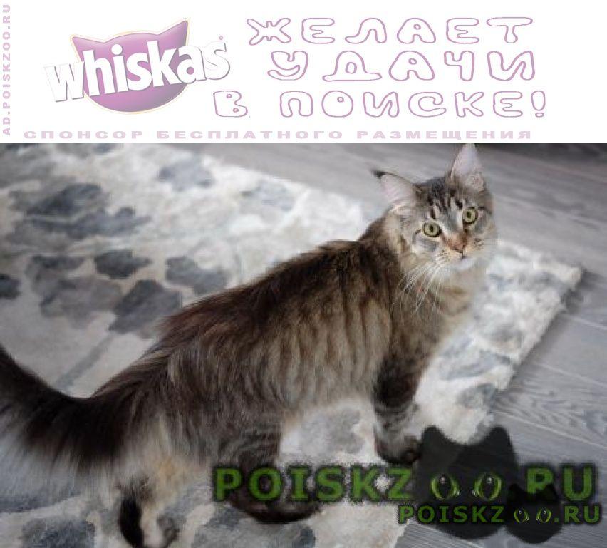 Пропала кошка мейн кун, серая (чёрная тигровая) г.Деденево
