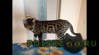 Пропала кошка бенгальская кошечка г.Екатеринбург