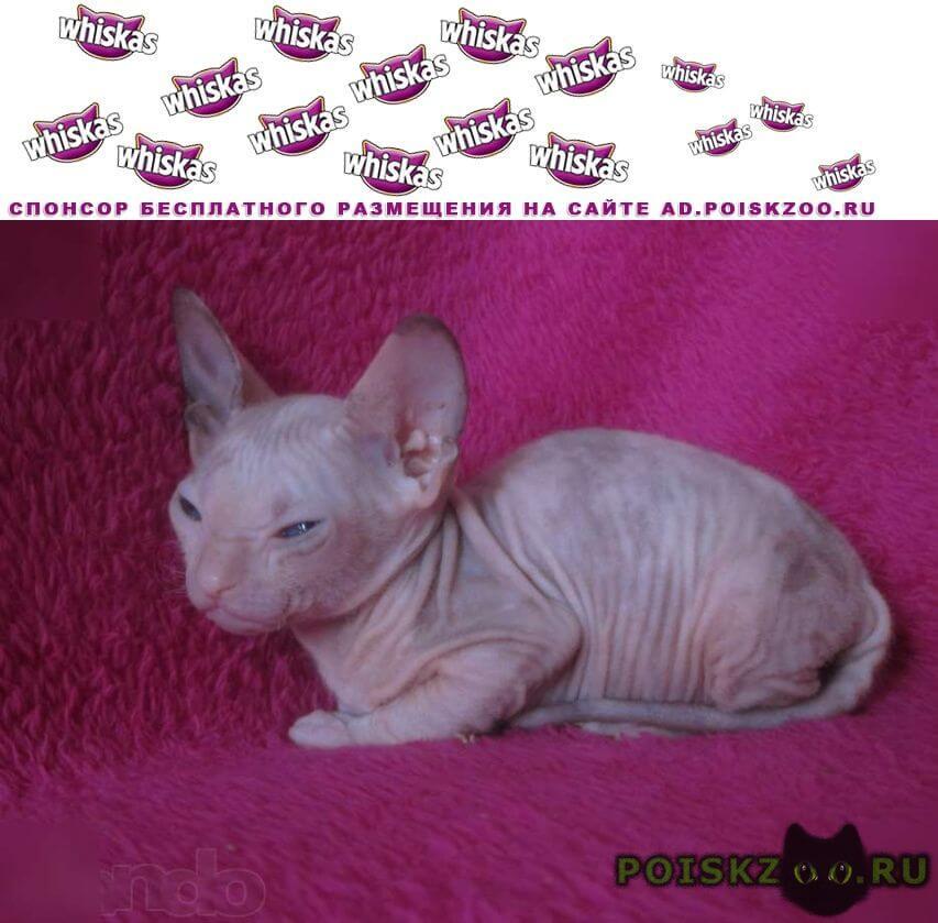 Пропала кошка донской сфинкс г.Крымск