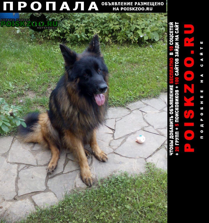 Истра Пропала собака кобель немецкой овчарки длинношерстный