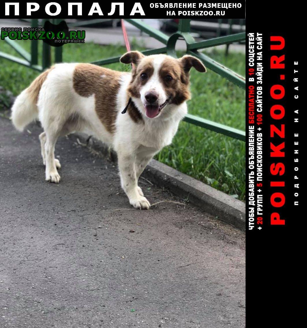 Пропала собака кобель Красноармейск (Московская обл.)