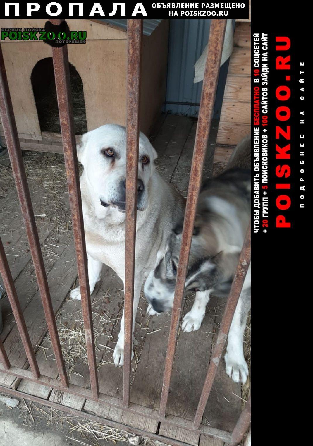 Домодедово Пропала собака кобель и собаки. 2 алабая