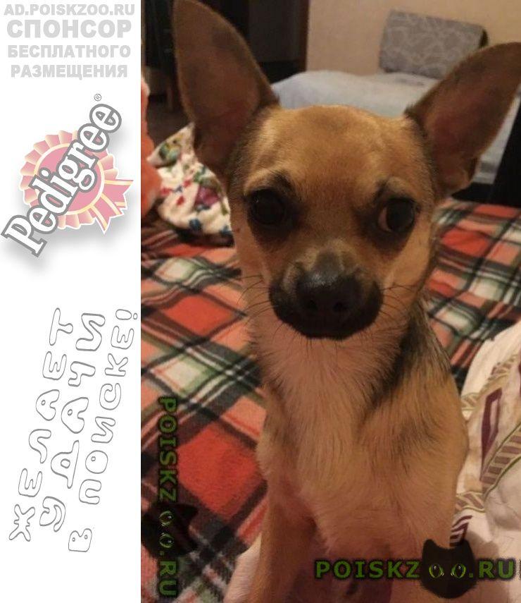 Пропала собака кобель чихуахуа зовут бекон г.Ялта