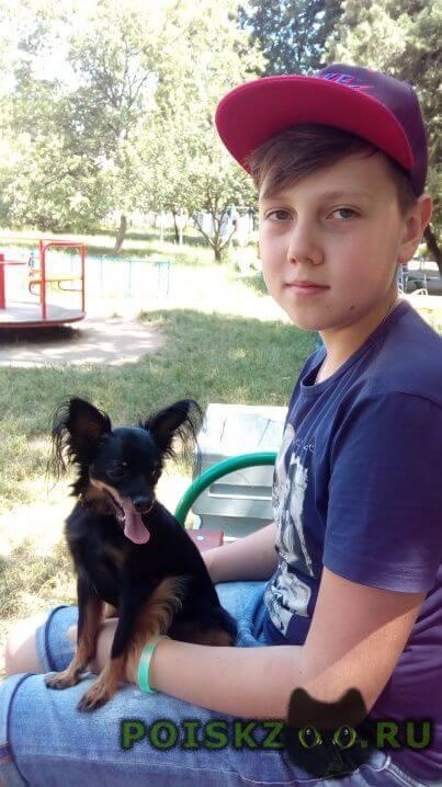 Пропала собака кобель породы той терьер г.Майкоп (Адыгея)