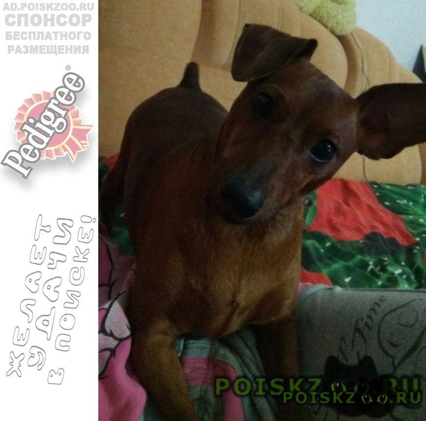 Пропала собака кобель крик души   г.Севастополь