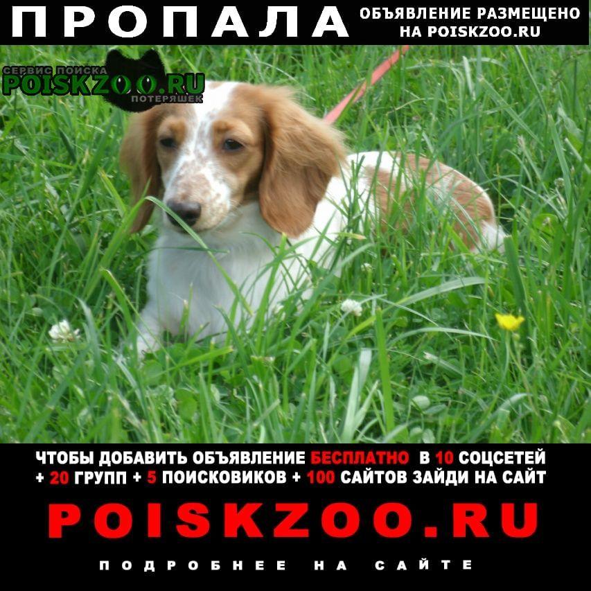 Пропала собака такса кроличья длинношерстная Сергиев Посад