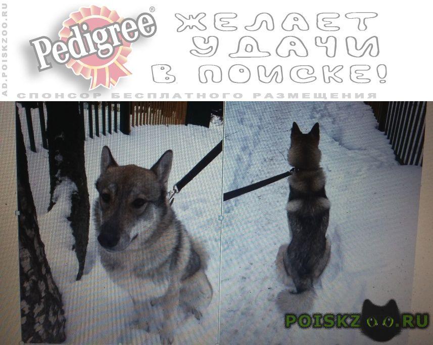 Пропала собака лайка г.Москва