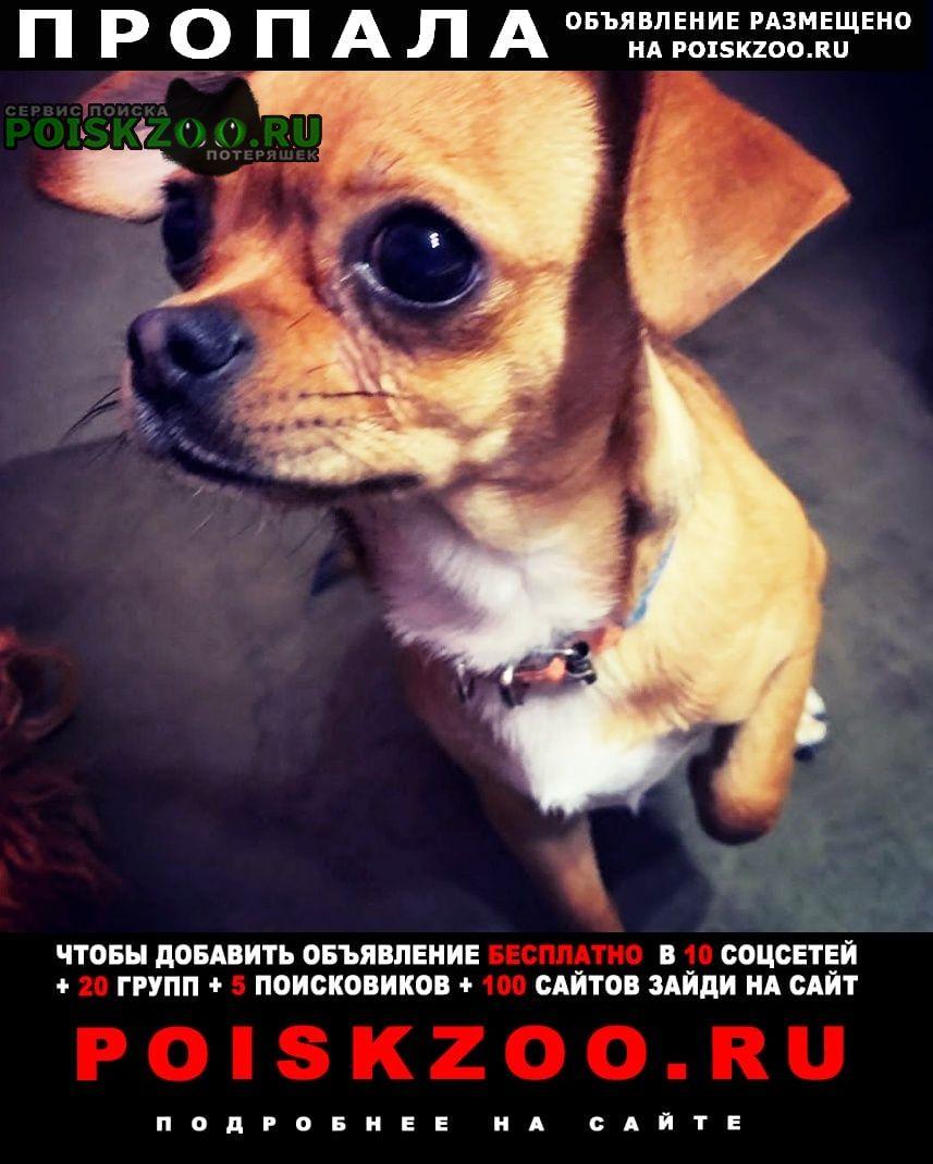 Пропала собака кобель чихуахуа г.Анапа