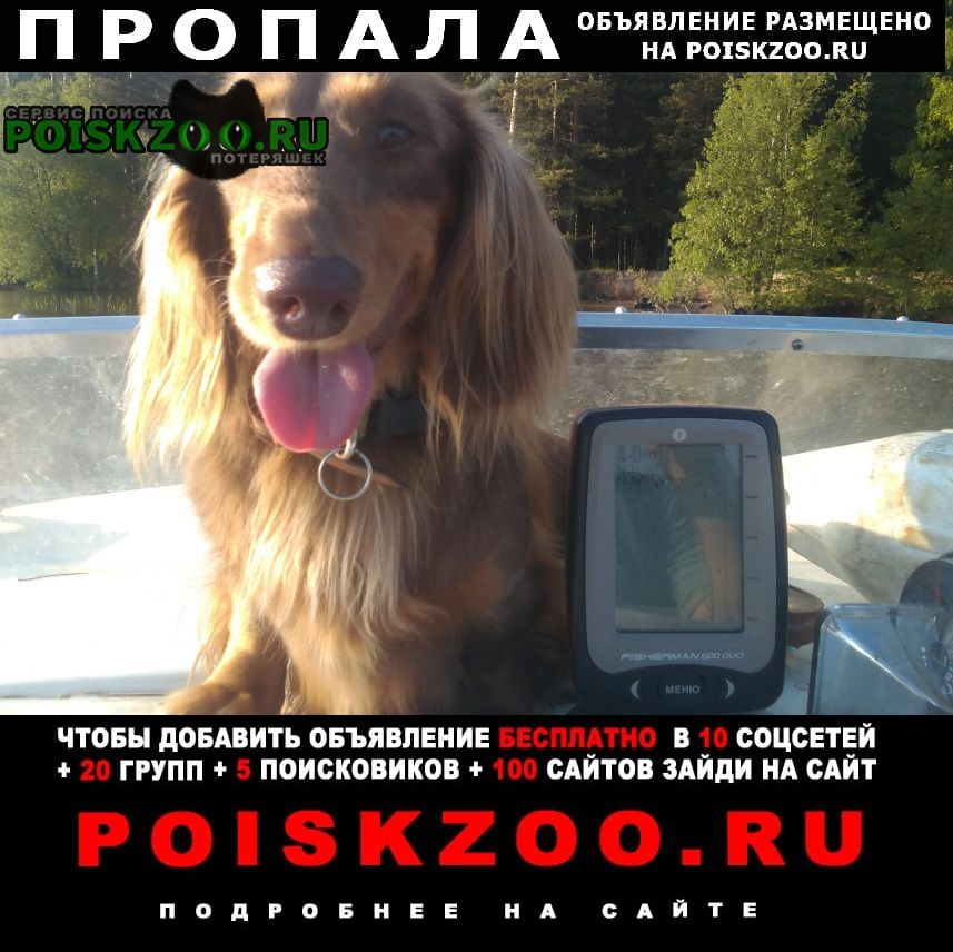 Пропала собака мини такса длиношерстная сука г.Дубна