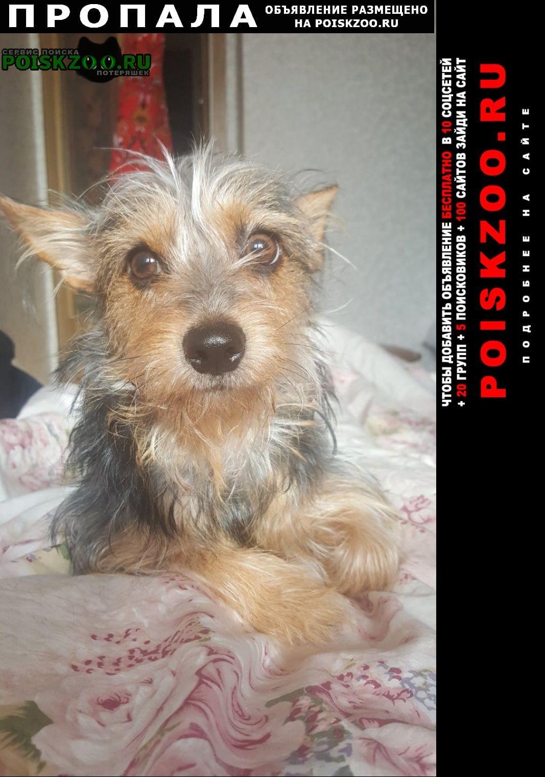 Пропала собака йоркширский терьер, не чистокровный г.Москва