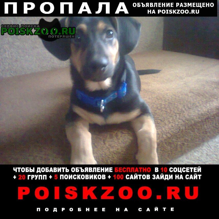 Пропала собака кобель прала такса г.Белогорск Кемеровская обл.