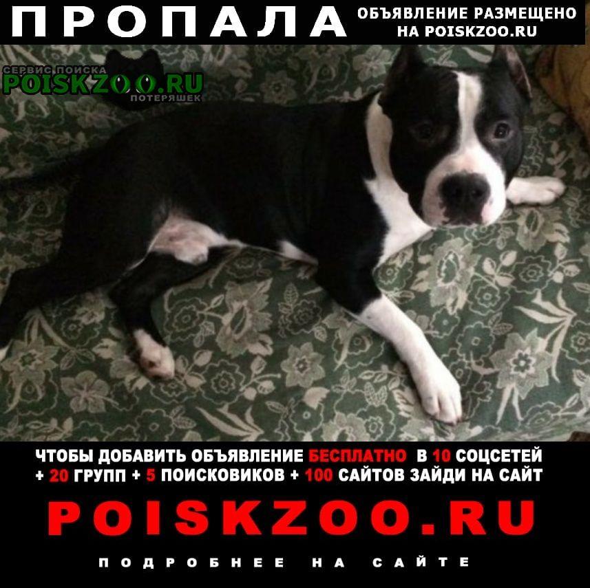 Пропала собака кобель американский стафф терьер, 2, 5 г. г.Зверево