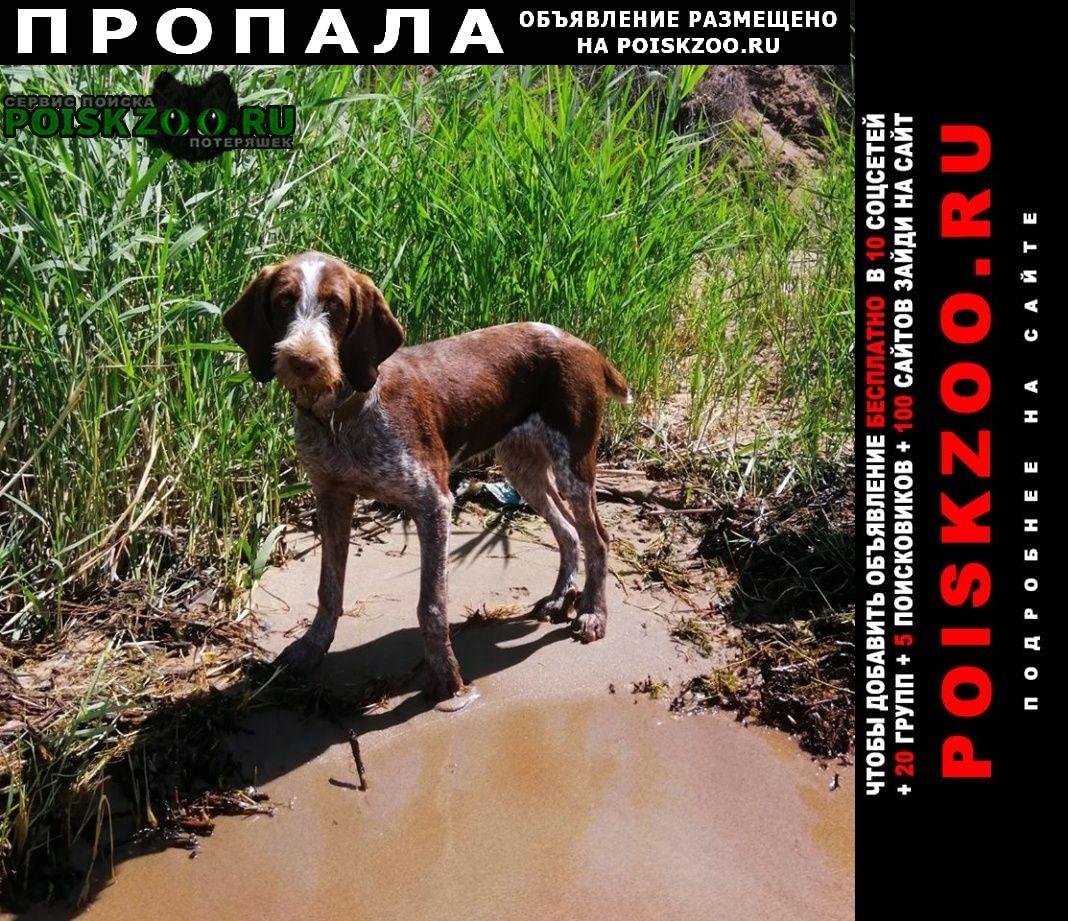 Пропала собака похожа на дратхаар, гончую. чепелёво Чехов