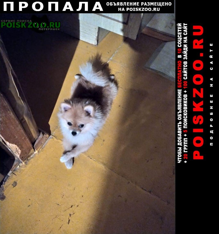 Пропала собака девочка - шпиц Ростов-на-Дону