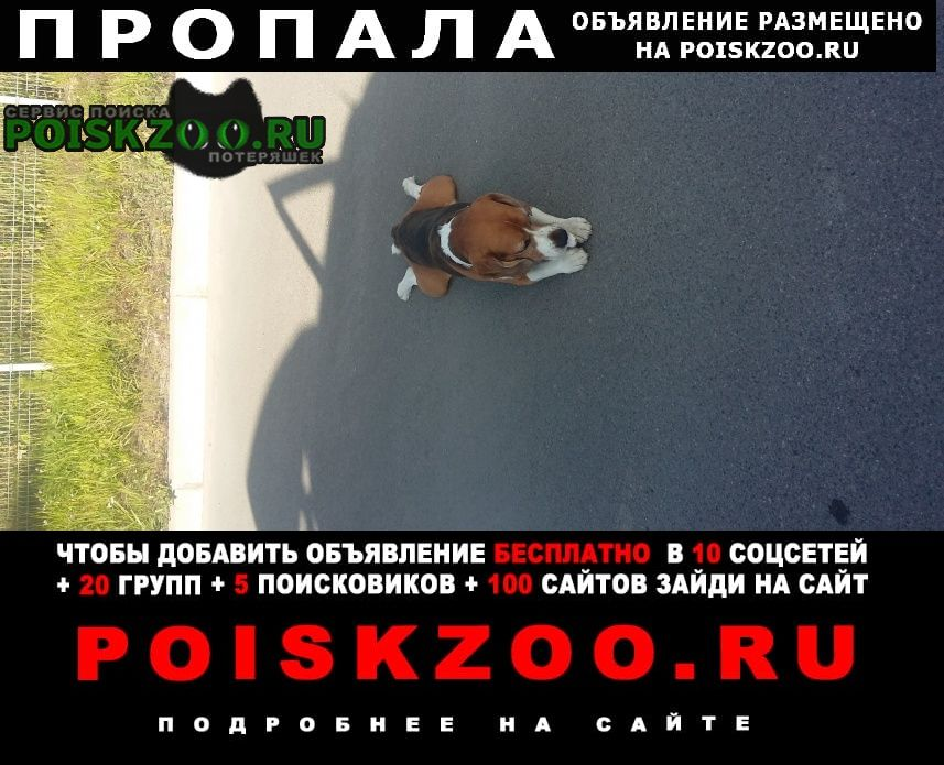 Пропала собака бигль Колпино