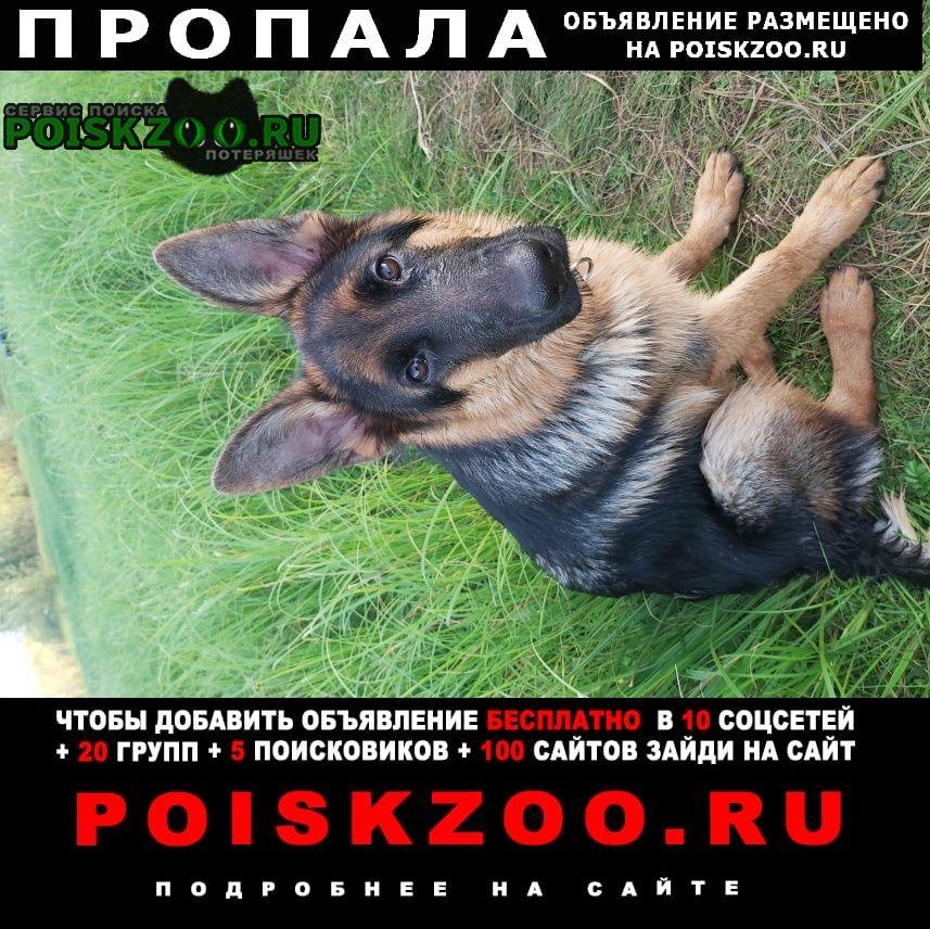 Пропала собака мальчик немецкой овчарки Сургут