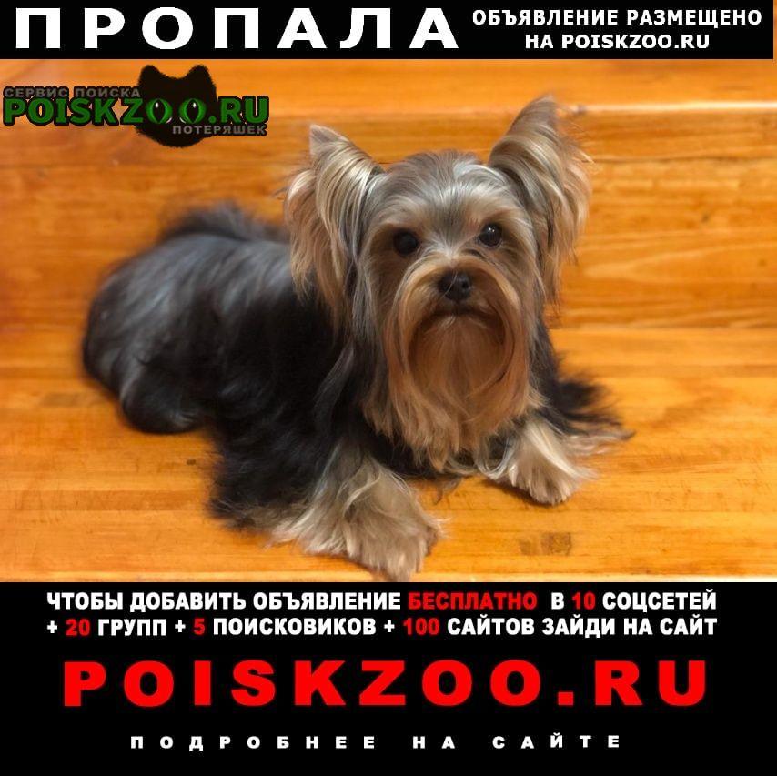 Пропала собака йоркширский терьер Новороссийск