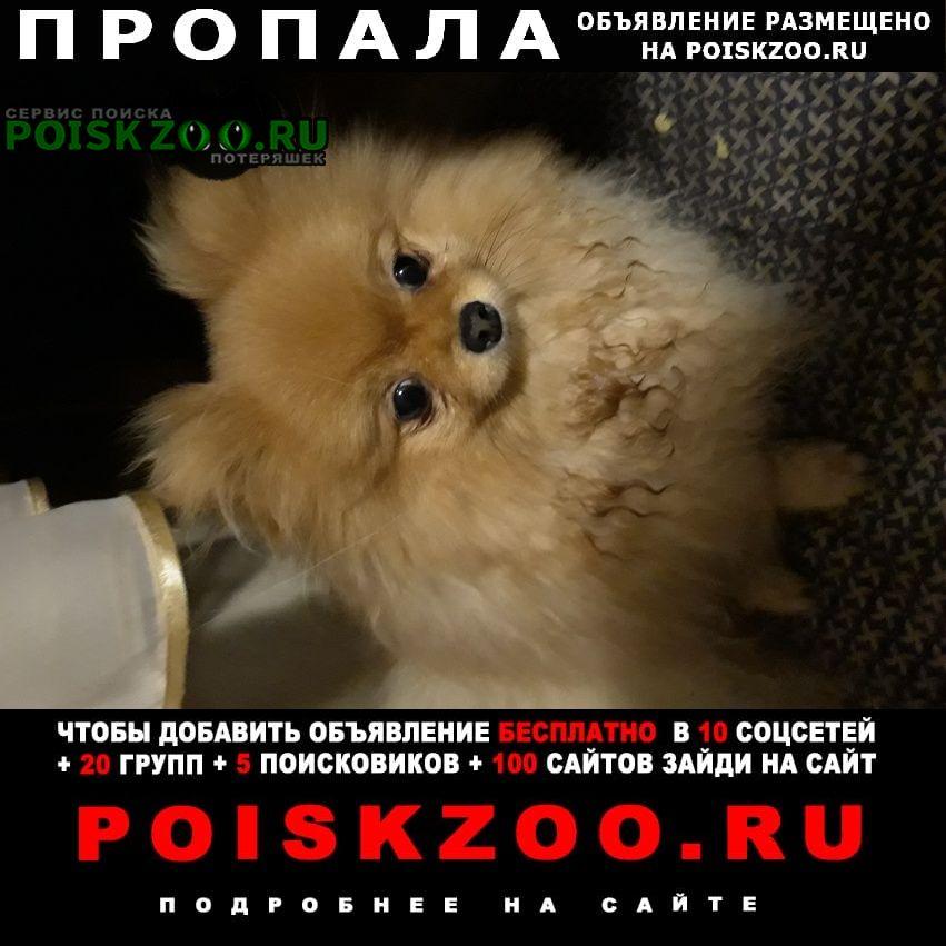 Пропала собака девочка шпиц окрас рыжий Лермонтов