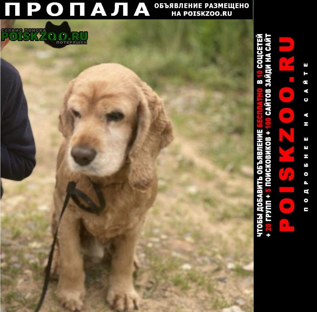 Пропала собака 8.08 спаниель кобель Дмитров
