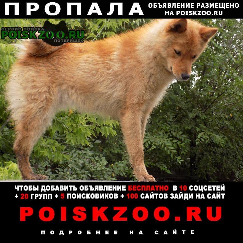 Пропала собака лайка карело-финская Борисоглебск