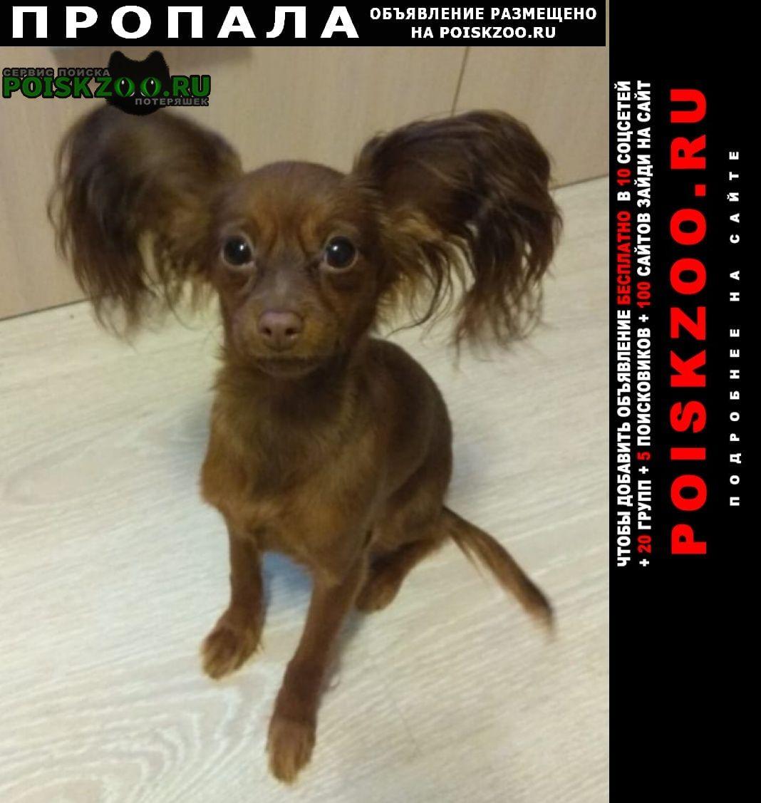 Пропала собака русский той Гатчина