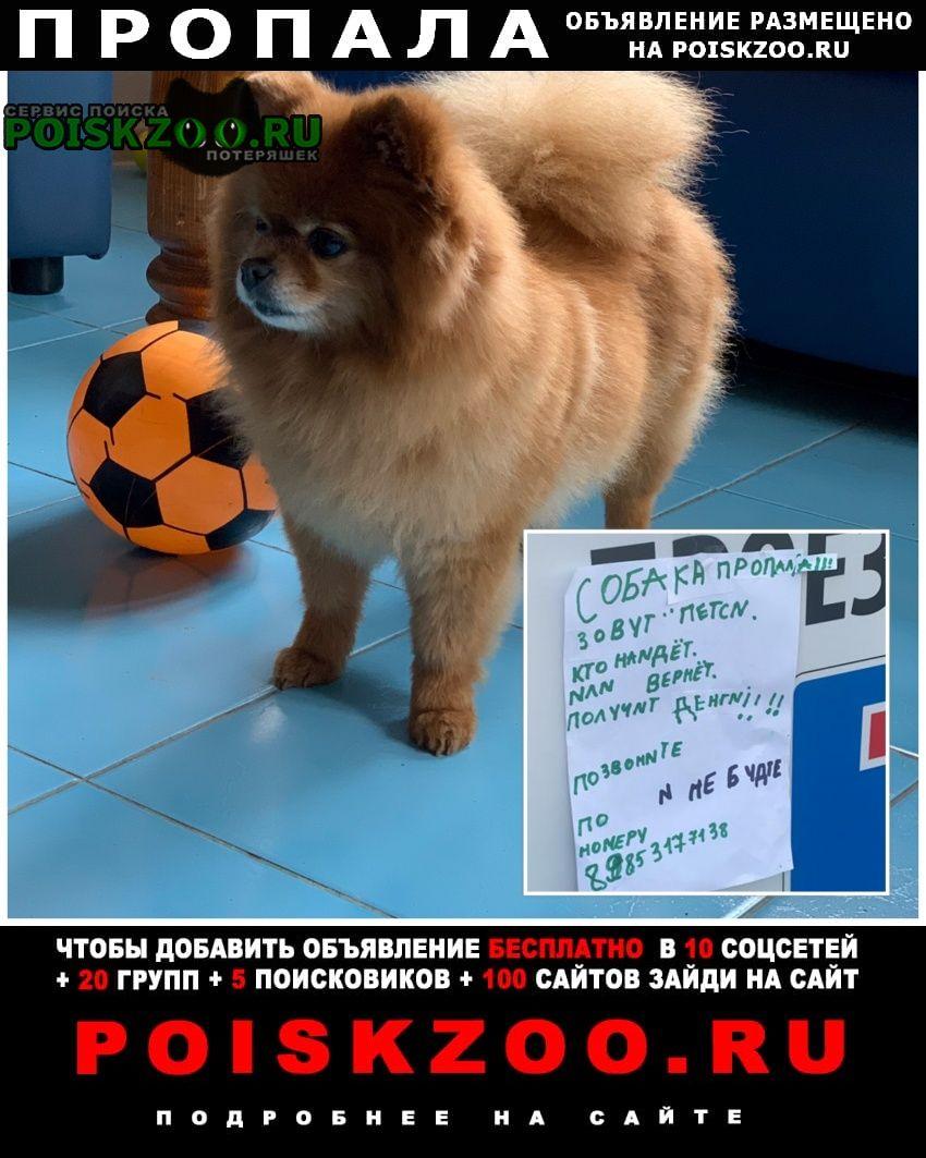 Пропала собака шпиц - девочка Дмитров