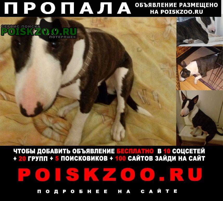 Пропала собака бультерьер Москва