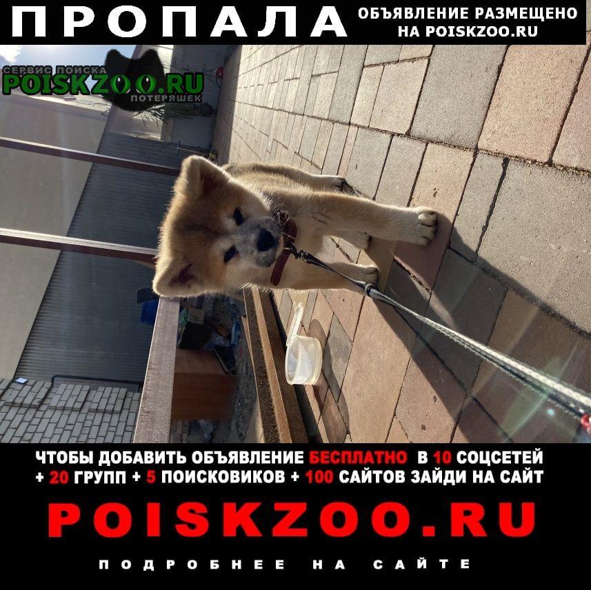 Пропала собака акита 2 месяца Ярославль