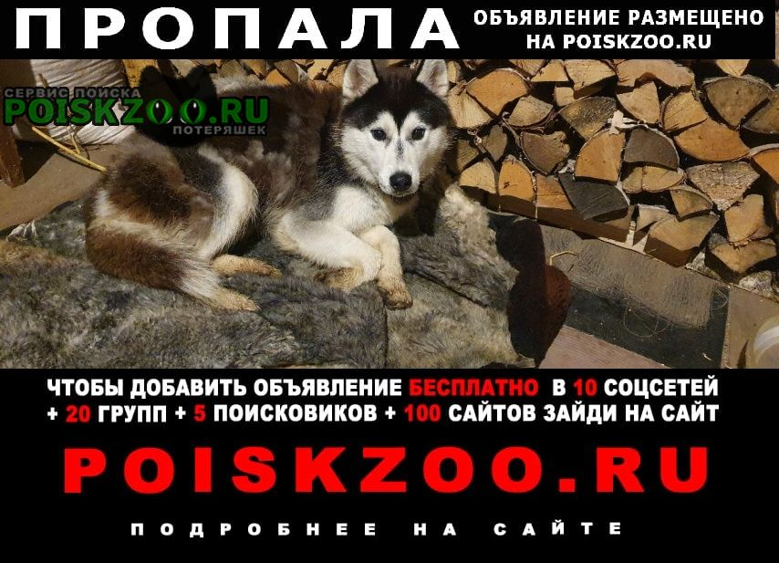 Пропала собака хаски Заволжье