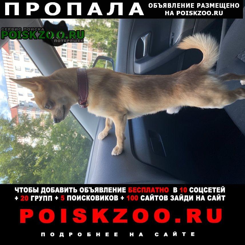 Пропала собака рыжий чихуахуа, Москва