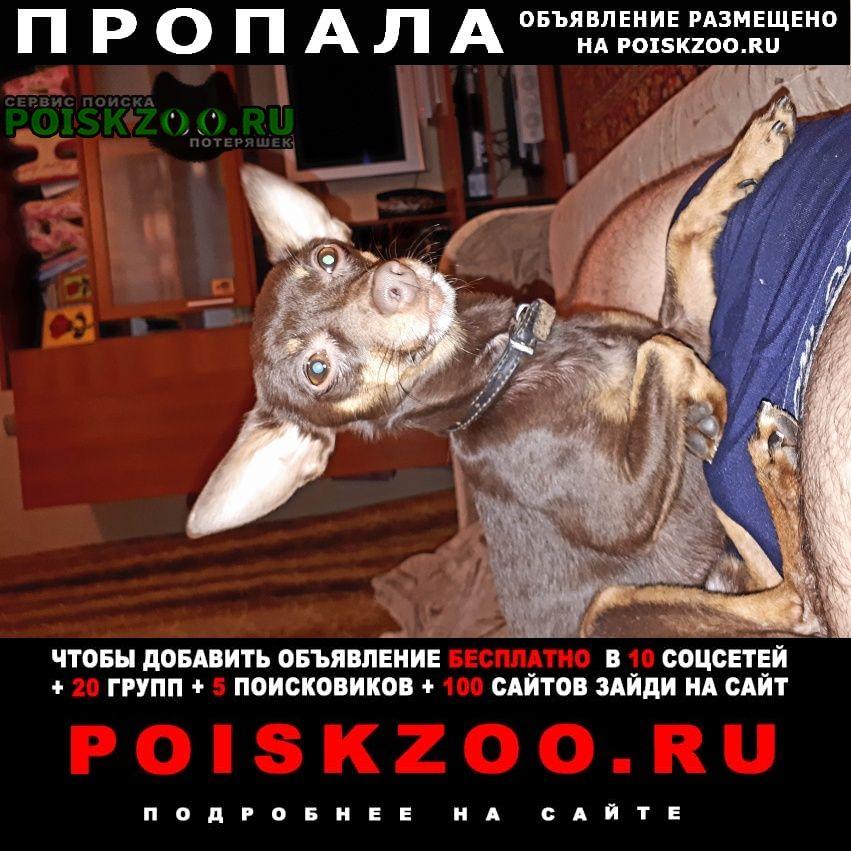 Пропала собака русский той-терьер Волжский (Волгоградская обл.)