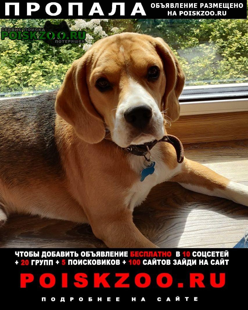 Пропала собака щенок бигль (мальчик 1 год и 2 мес) Вязники
