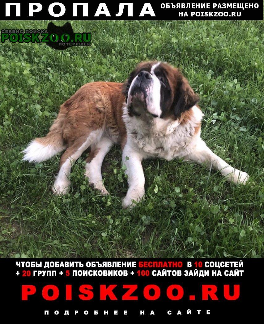 Пушкино Пропала собака сенбернар