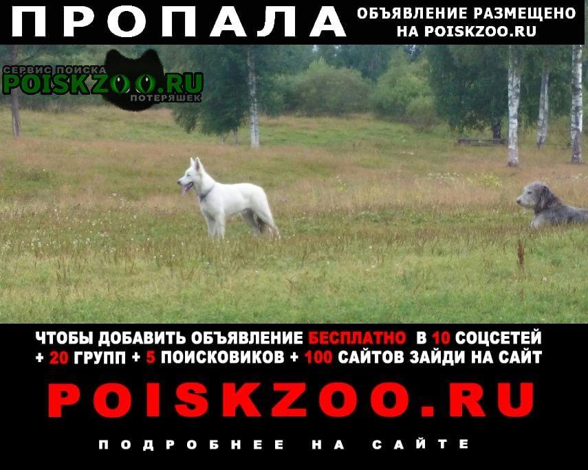 Пропала собака белая швейцарская овчарка Сосновый Бор
