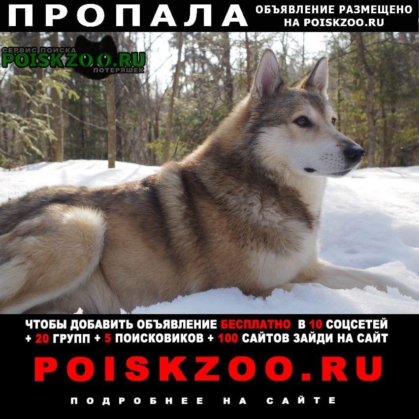 Пропала собака лайка кобель зсл Тучково