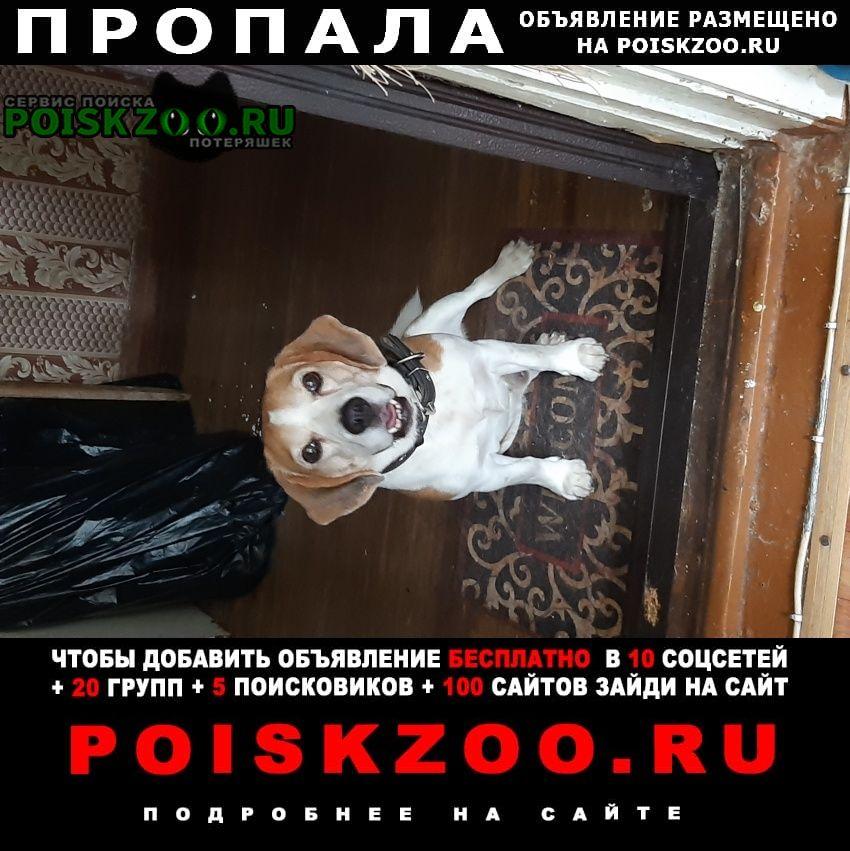 Пропала собака бигль Воскресенск