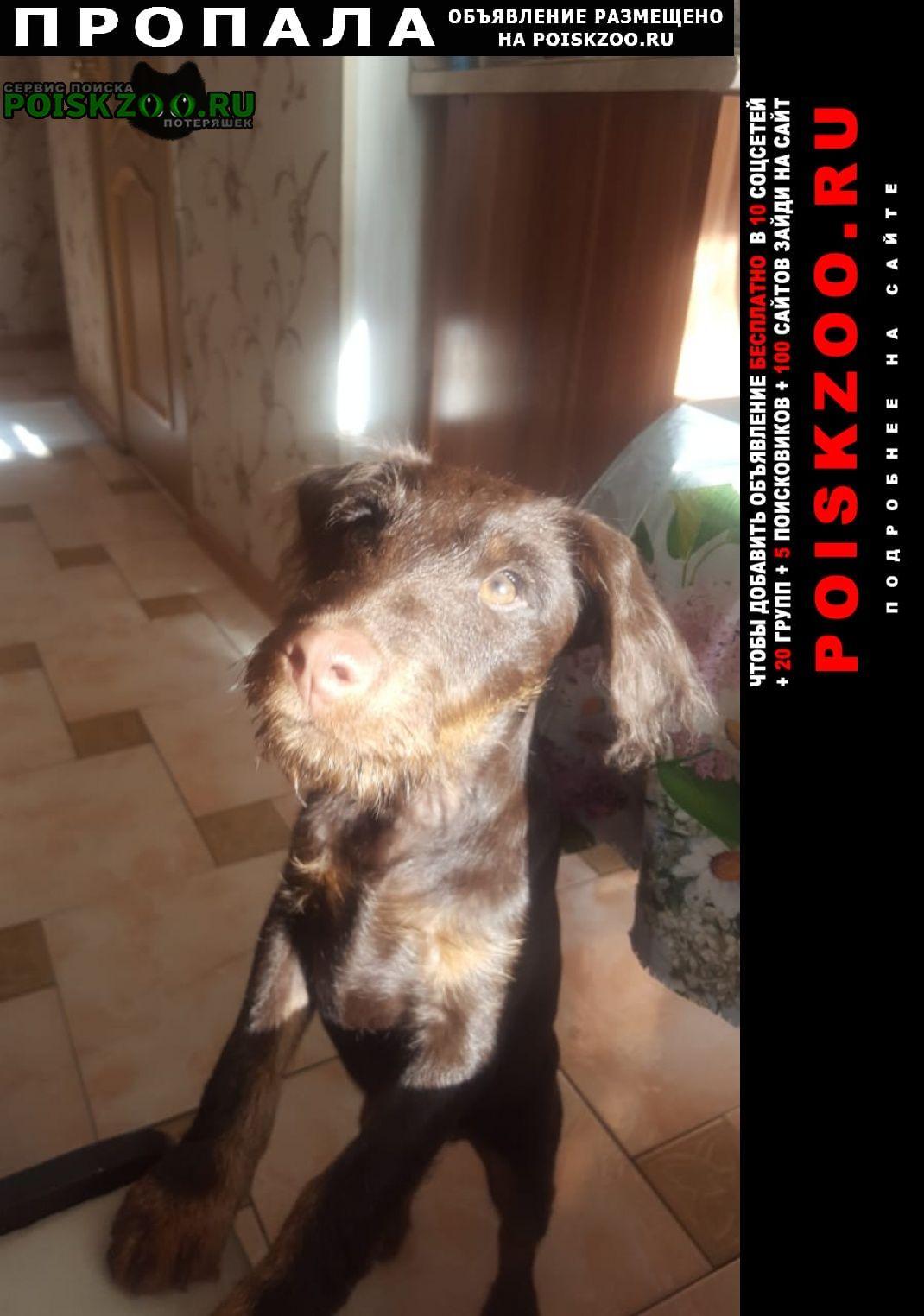 Пропала собака ягдтерьер коричневый Приозерск