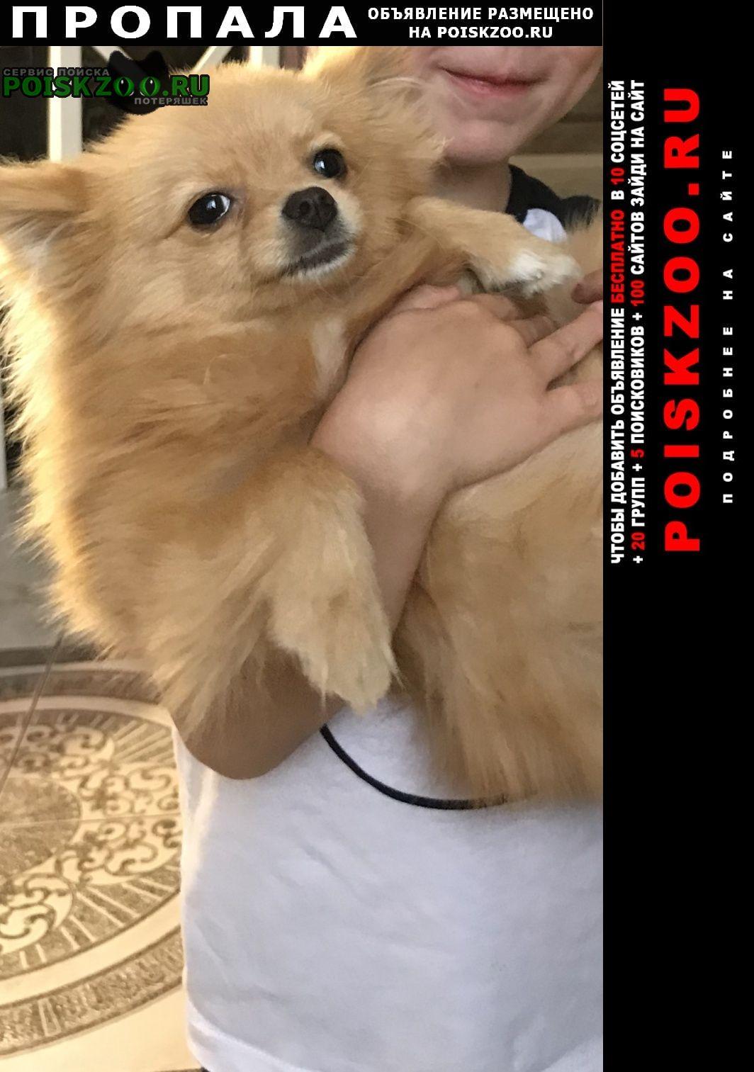 Высоковск Пропала собака шпиц рыже- бежевого окраса мальчик 2, 5 г