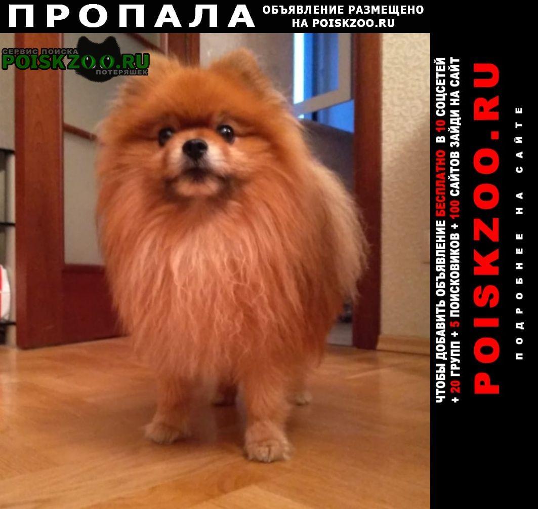 Пропала собака мальчик померанский шпиц  Санкт-Петербург