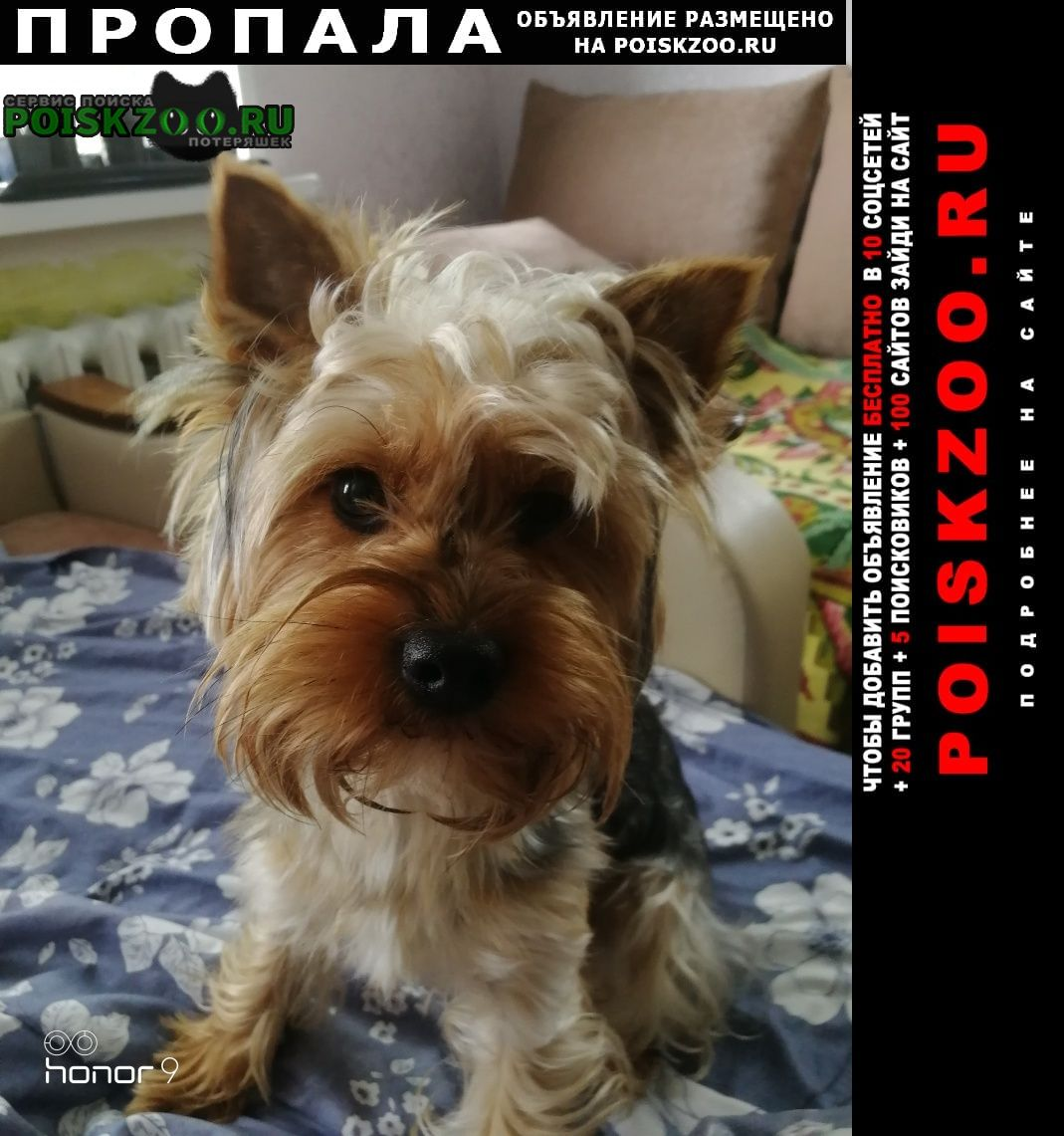 Пропала собака йоркширский терьер Старый Оскол