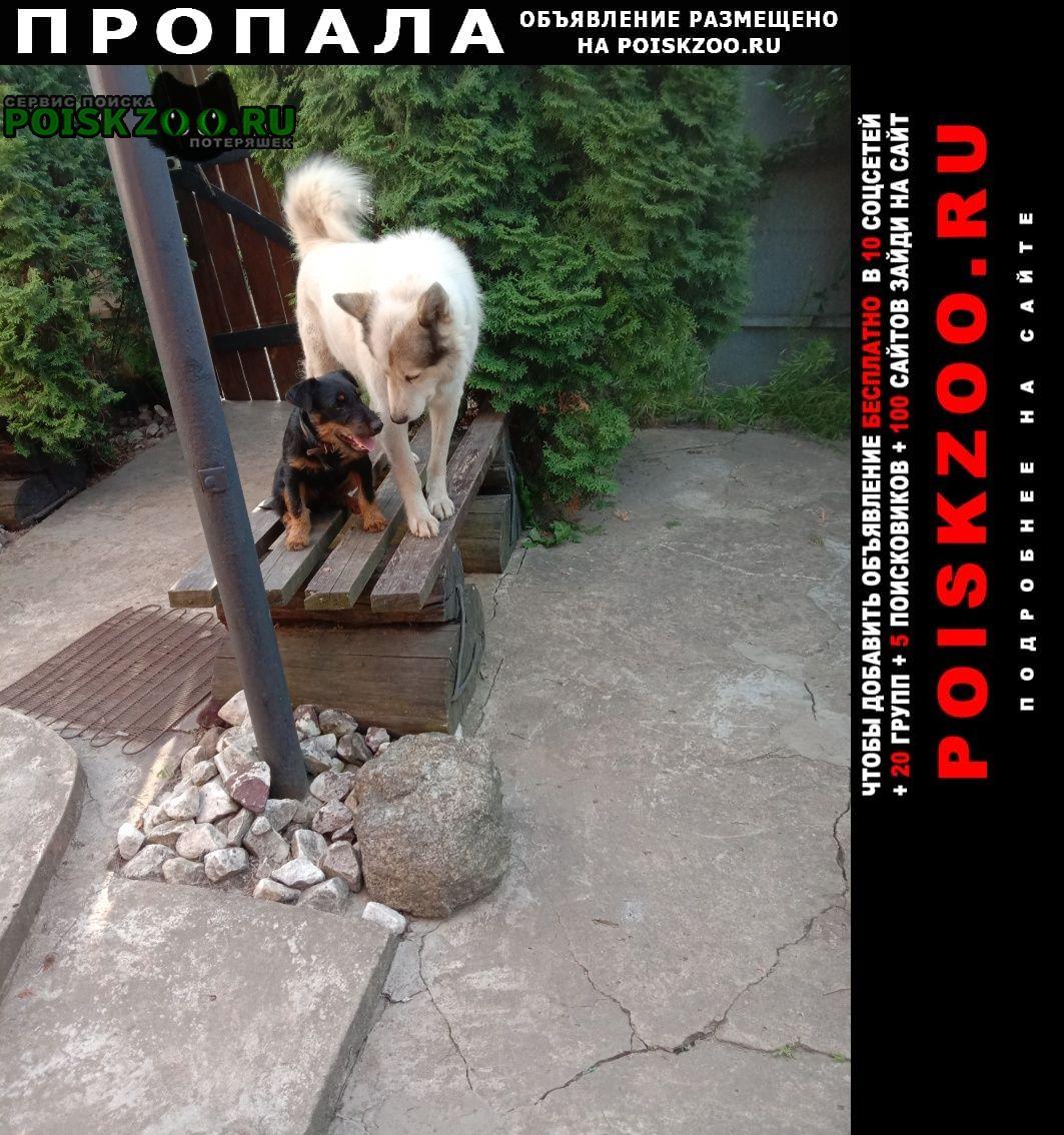 Пропала собака щенок ягдтерьра. Смоленск