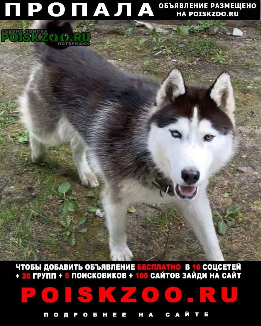 Пропала собака хаски Орехово-Зуево