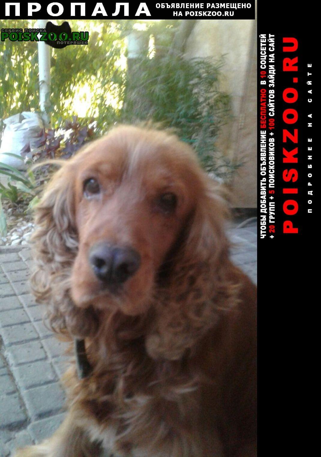Пропала собака английский кокер спаниель Геленджик