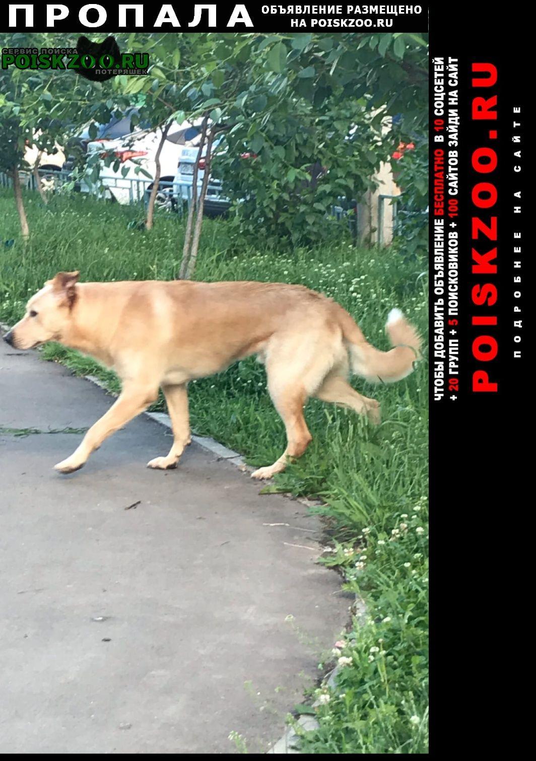Пропала собака передвигается быстро в поиске дома. Москва