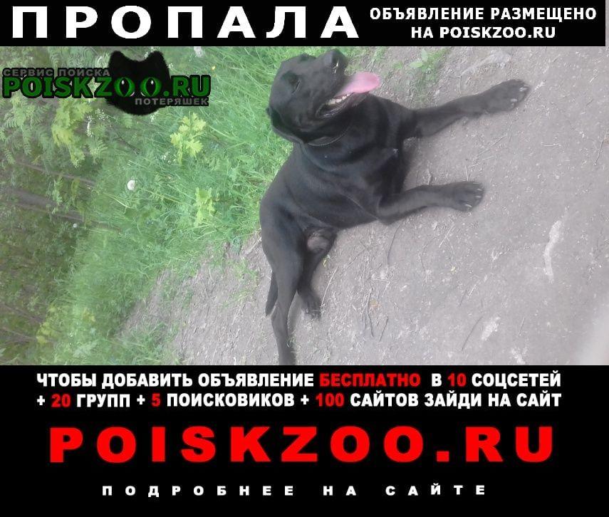 Пропала собака метис лабрадора Санкт-Петербург